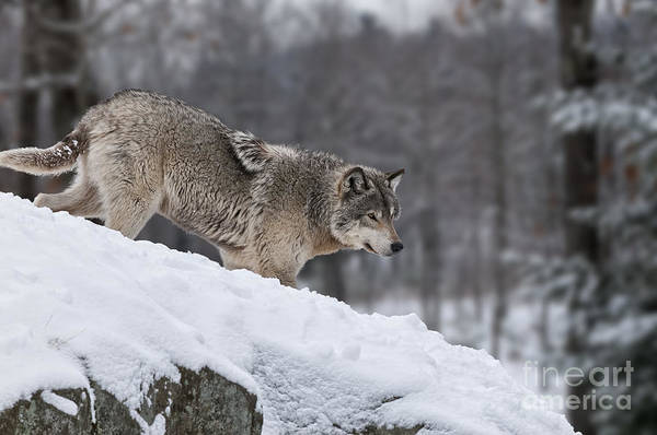 Timber Wolf On Hill Poster