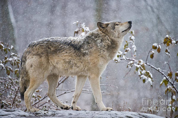 Timber Wolf Pictures 188 Poster