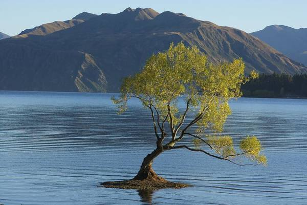 Tree In Lake Wanaka Poster