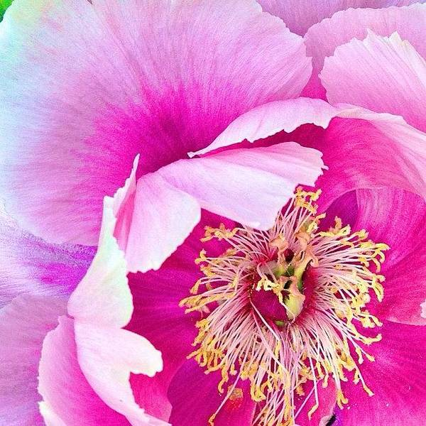Tree Peony....what An Amazing Flower Poster