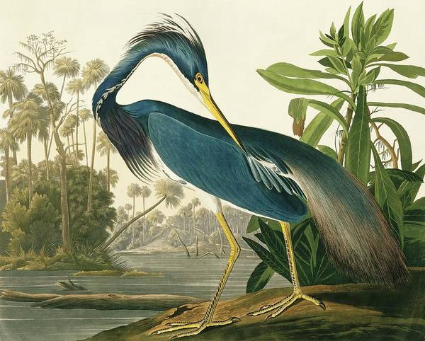 Tricoloured Heron Poster