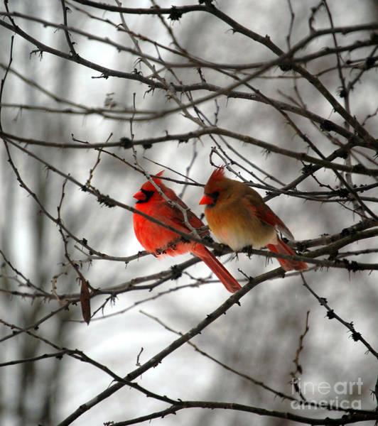 True Love Cardinal Poster