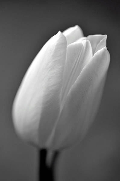 Tulip In Black And White Poster