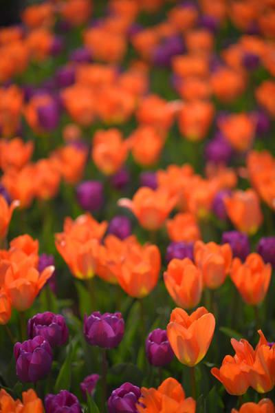 Tulips At Clevelands Botanical Gardens Poster