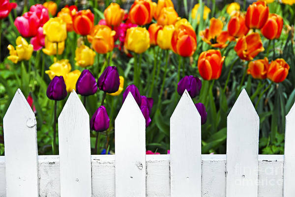 Tulips Behind White Fence Poster