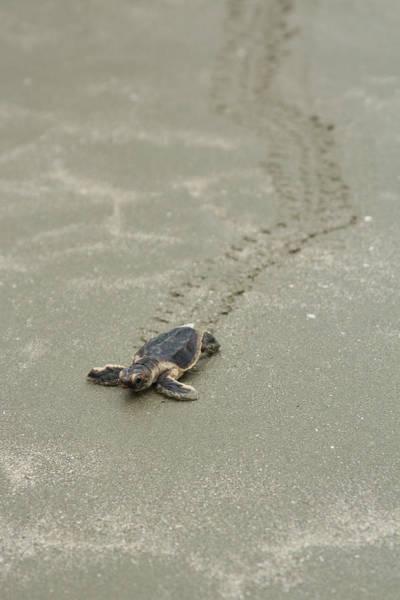 Turtle Tracks Poster