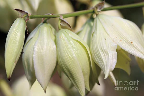 Twist-leaf Yucca Poster