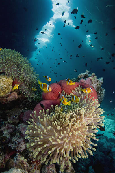Two-banded Anemonefish And Bulb Poster