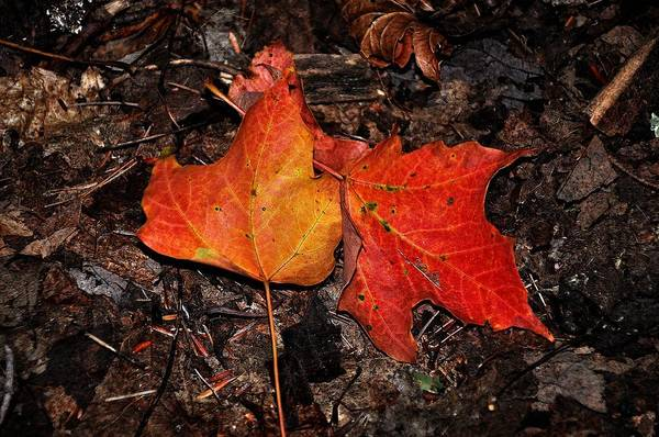 Two Fallen Autumn Leaves Poster