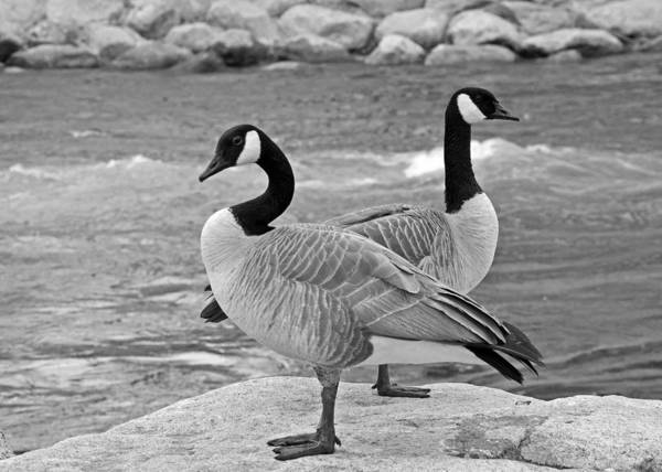 Two Geese In Black And White Poster