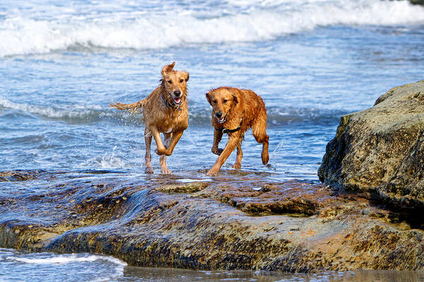 Two Golden Retriever Dogs Running On Beach Rocks Poster