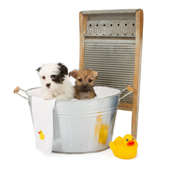 Two Puppies Taking A Bath Poster