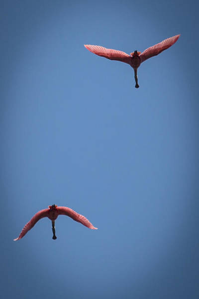 Two Spoonbills Overflying The Swamp Poster