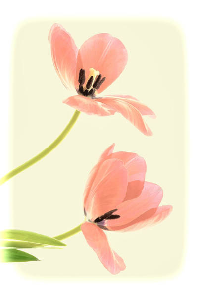 Two Tulips In Pink Transparency Poster