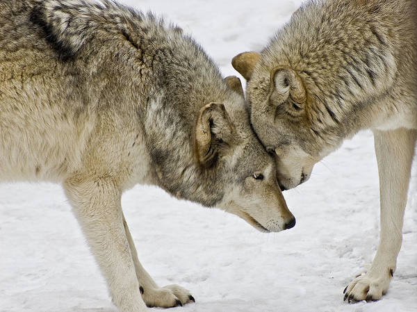 Two Wolves In  A Staredown Poster