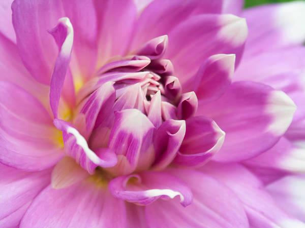 Unfolding Flower Poster