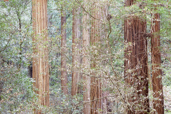 Usa, California Tres In Muir Woods Poster