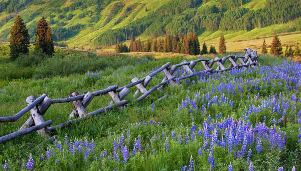 Usa, Colorado Lupines And Split Rail Poster
