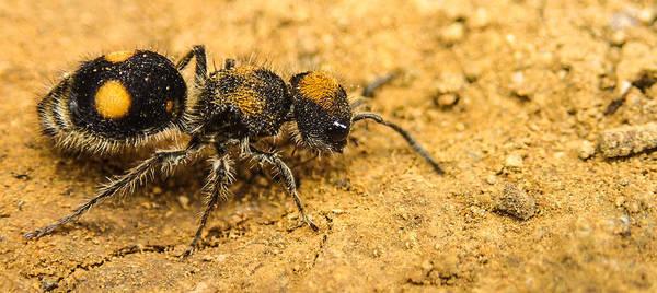 Velvet Ant Poster