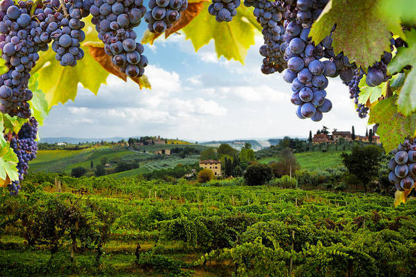 Vineyards In San Gimignano Italy Poster