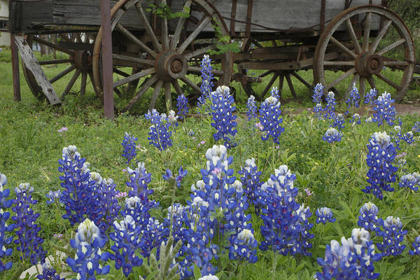 Wagon With Bluebonnets Poster