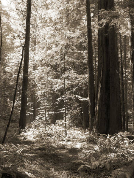 Walking In The Redwoods 3 Poster
