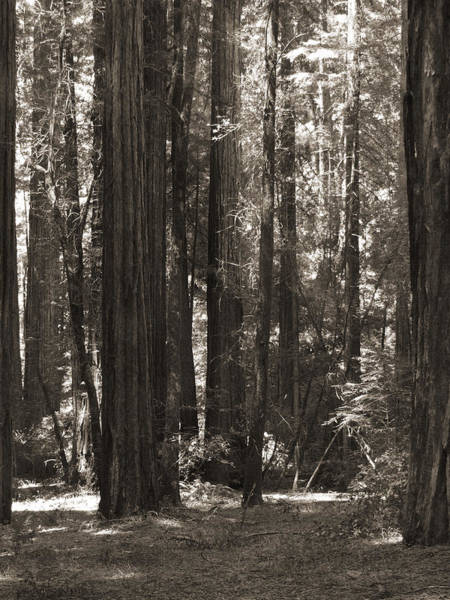 Walking In The Redwoods 4 Poster