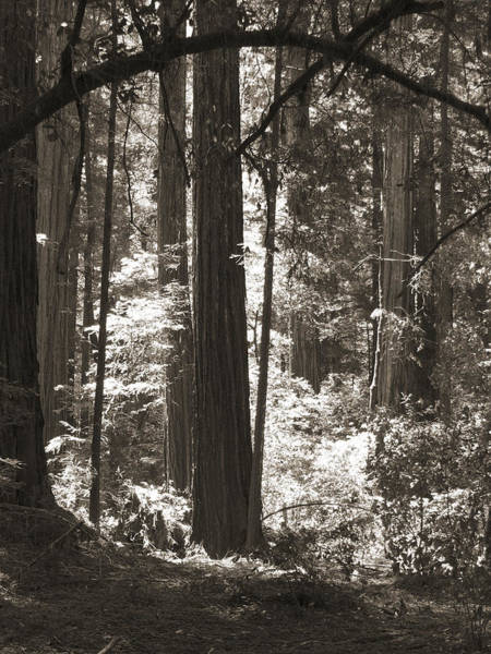 Walking In The Redwoods 5 Poster
