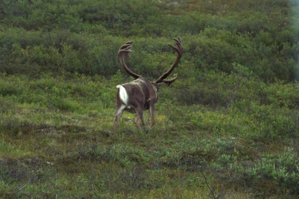Wandering Caribou Poster