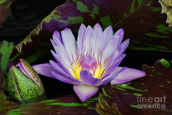 Water Lily Leopardess Poster