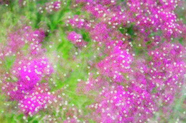 Wavyleaf Sea-lavender (limonium Sinuatum) Poster