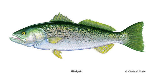Weakfish Poster