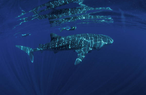 Whale Shark And Snorkler, Rhincodon Poster
