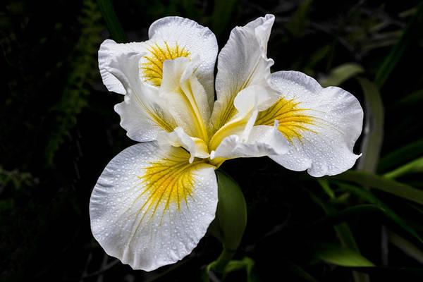 White And Yellow Bearded Iris Poster
