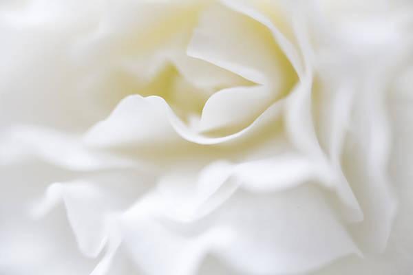 White Begonia Petals Poster