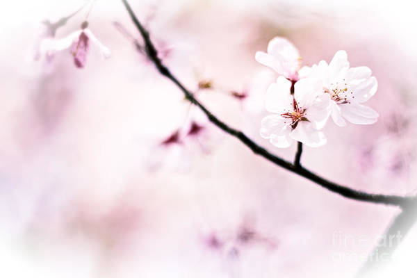 White Cherry Blossoms In The Sunlight Poster