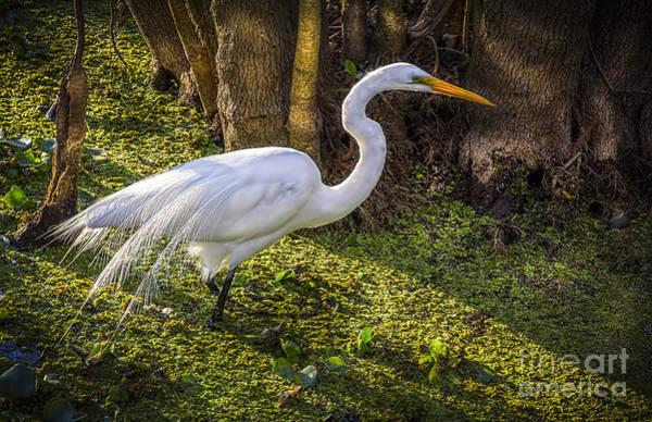 White Egret On The Hunt Poster