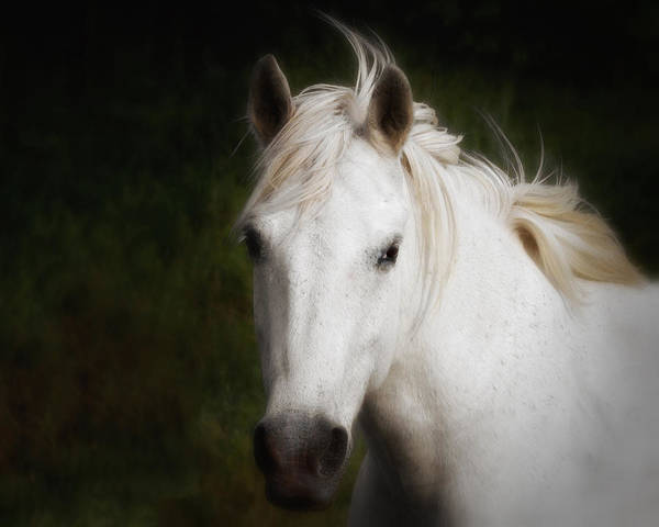 Poster featuring the photograph White Horse Of The Carmargue by Gigi Ebert