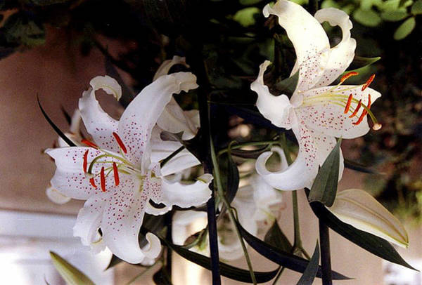 White Oriental Lilium  Poster