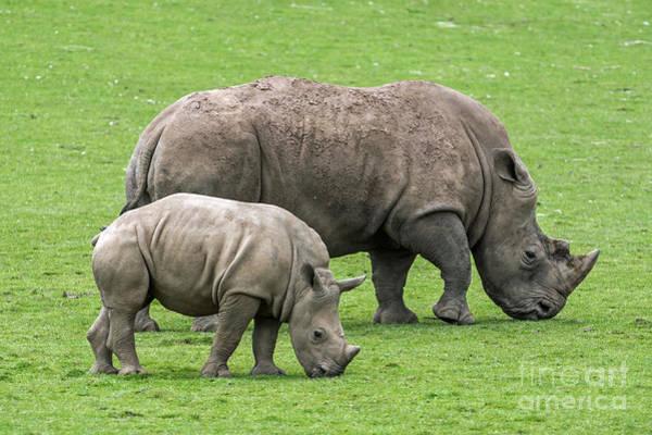 White Rhino 8 Poster