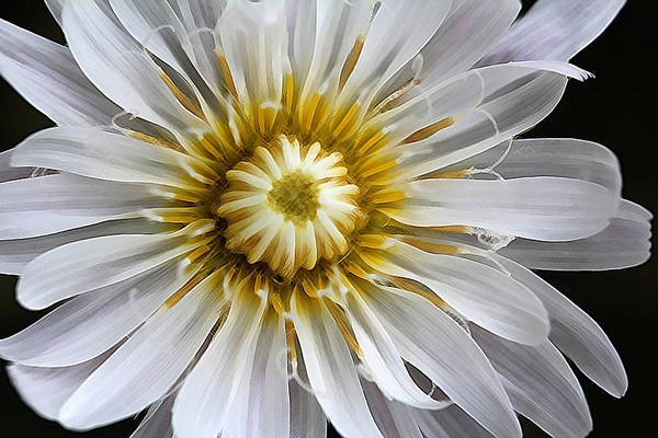 White Dandelion - White Rock Lettuce Poster