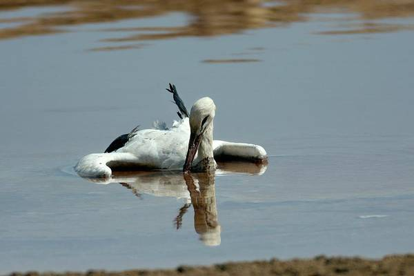 White Stork Drowning In The Dead Sea Poster