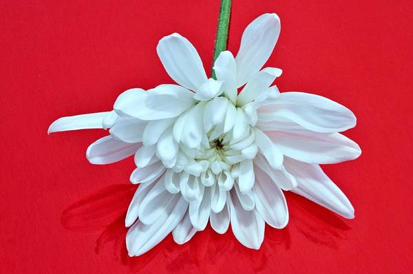 White Flower On Bright Red Background Poster