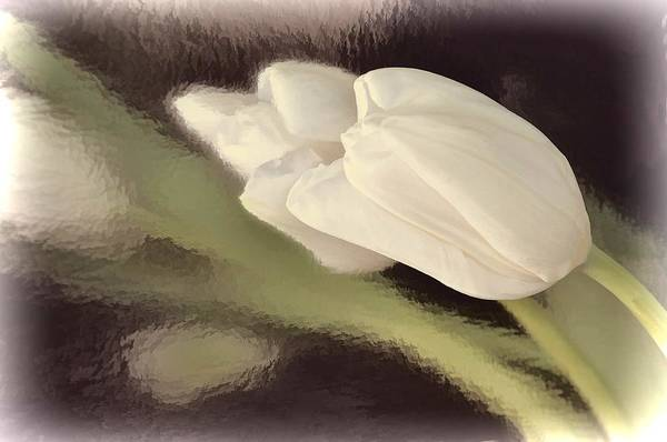 White Tulip Reflected In Misty Water Poster