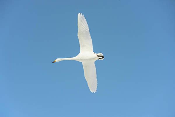 Whooper Swan In Flight Poster