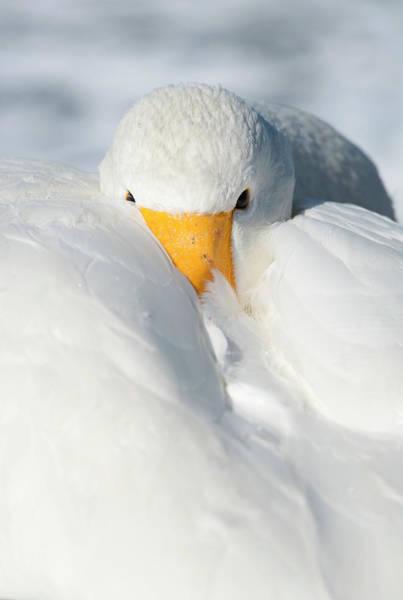 Whooper Swan Resting Poster