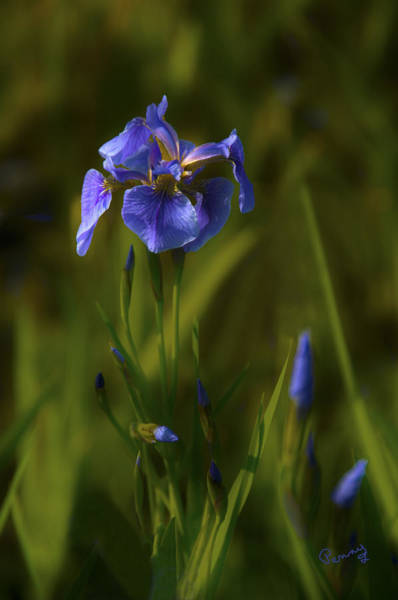 Wild Alaskan Iris Poster