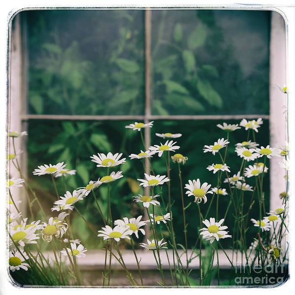 Poster featuring the photograph Wild Daisies by Kate McKenna