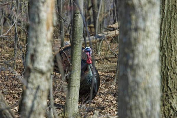 Wild Turkey 1 Poster