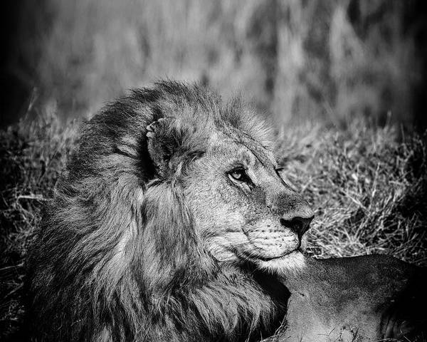Poster featuring the photograph Wildlife Lion by Gigi Ebert